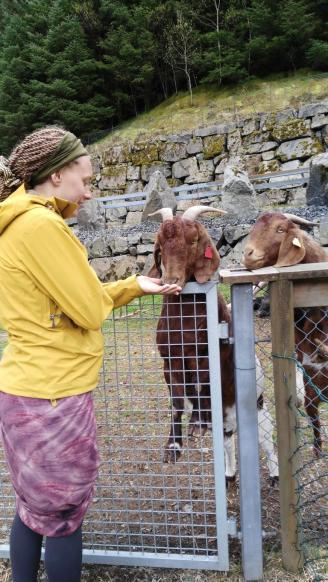 Erst wurden die Ziegen gefüttert