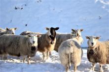 Auch die Schafe genießen das schöne Wetter