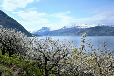 Apfelblüte im Hardangerfjord