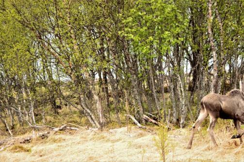 Mein erstes Bild vom Elch. Ich finde es ist sehr gelungen.